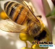 Las abejas sí estarían muriendo a causa de la telefonía móvil
