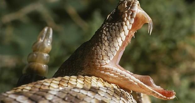 lchapuzasinformatico.com wp content uploads 2011 11 Serpiente cascabel e1321562940967 0