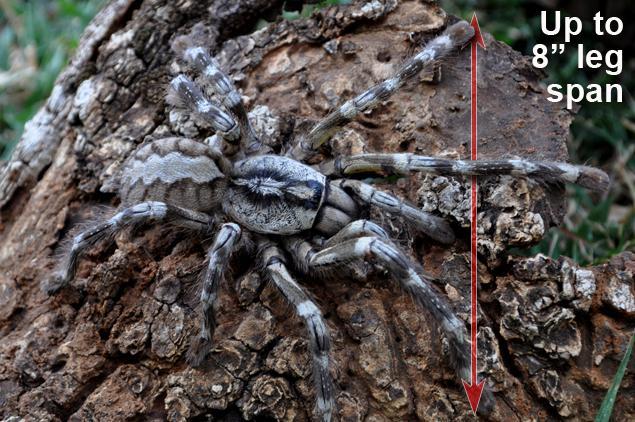 Descubierta una araña gigante en Sri Lanka