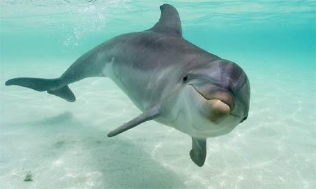 Los delfines se drogan gracias al pez globo