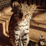 Leopardus Guttulus – Nueva especie de gato montés