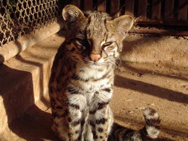 Leopardus Guttulus