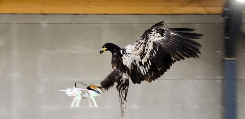 La policía entrena águilas para derribar drones