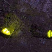 Las luciérnagas han ayudado a mejorar la eficiencia de los paneles OLED