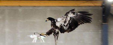 La policía holandesa cancela el programa destinado a capturar drones con águilas