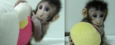Consiguen clonar los primeros monos con la misma técnica de la oveja Dolly