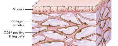 Descubren el 'intersticio', un posible nuevo órgano en el cuerpo humano