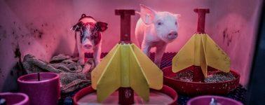 Alemania también modifica los genes de los cerdos para emplear sus órganos en humanos